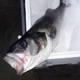 Spigola di mare Selvaggia  Italia 1,5 kg circa
